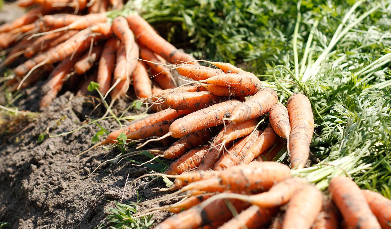 carotte-bio-rive-sud